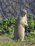 Primo piano californiano dello scoiattolo a terra fotografia stock