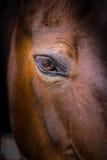Primo piano capo- del cavallo dell'occhio Fotografie Stock Libere da Diritti