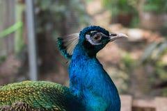 Primo piano capo del pavone nel profilo fotografie stock libere da diritti