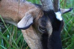 Primo piano capo della capra Fotografia Stock