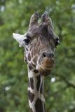 Primo piano capo della giraffa Immagine Stock
