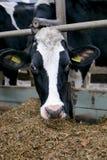 Primo piano capo della mucca in una penna su un'azienda lattiera immagine stock