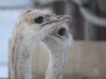 Primo piano capo dello struzzo Occhi e becco zoo fotografia stock