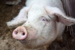Primo piano capo su un'azienda agricola di maiale Fotografie Stock