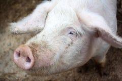Primo piano capo su un'azienda agricola di maiale Immagini Stock
