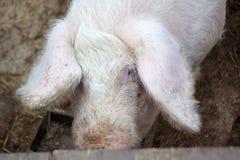 Primo piano capo su un'azienda agricola di maiale Fotografia Stock Libera da Diritti