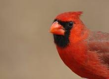Primo piano cardinale Fotografia Stock Libera da Diritti