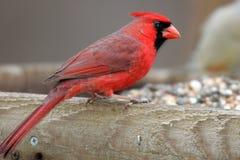Primo piano cardinale sull'alimentatore dell'uccello Fotografie Stock