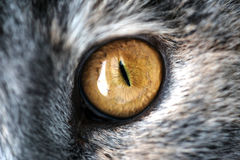Primo piano Cat Eye gialla con Gray Fur Fotografie Stock Libere da Diritti