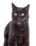 Primo piano Cat Mouth Open nera Immagine Stock Libera da Diritti