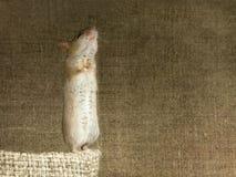 Primo piano che il topo sta sulle sue zampe posteriori su una piccola borsa di tela su fondo di grande borsa di tela Fotografie Stock Libere da Diritti