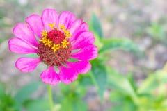 Primo piano in cima lasciato rosa del fiore di zinnia Fotografie Stock
