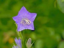 Primo piano cinese del bellflower - grandiflorus di Platycodon immagine stock libera da diritti