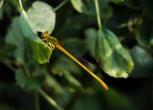 Primo piano colorato vivo della libellula fotografia stock libera da diritti