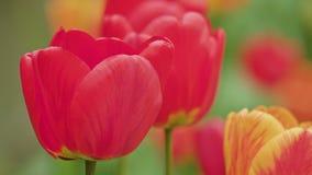 Primo piano Colourful di macro dei tulipani fotografie stock