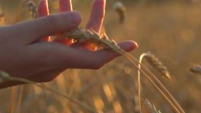 Primo piano commovente delle orecchie del grano della mano della donna Mano di agricoltura commovente del cereale del grano dell' stock footage
