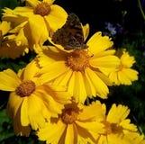Primo piano con i fiori gialli e una farfalla su un fondo scuro immagine stock libera da diritti