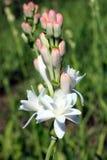 Primo piano con il fiore del tuberose Fotografia Stock