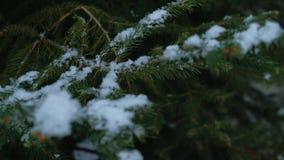 Primo piano con il fuoco mobile sui fiocchi della neve che atterrano sui rami di albero dell'abete video d archivio