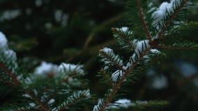Primo piano con il fuoco mobile sui fiocchi della neve che atterrano sui rami di albero dell'abete stock footage