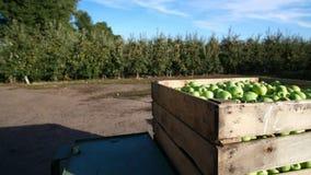 Primo piano, contenitore di legno, scatola riempita alla cima di grandi mele deliziose verdi durante il periodo di raccolta annua stock footage