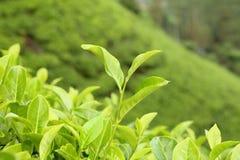 Primo piano crescente della foglia di tè Fotografia Stock Libera da Diritti