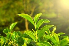 Primo piano crescente delle foglie di tè Fotografie Stock Libere da Diritti
