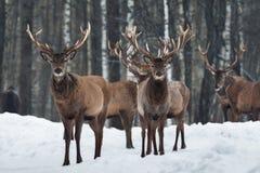 Primo piano curioso del maschio di due bello cervi del trofeo, circondato dal gregge Paesaggio della fauna selvatica di Natale di fotografia stock libera da diritti