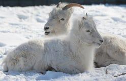 Primo piano d'aggancio di inverno delle pecore di Dall in neve fotografie stock libere da diritti