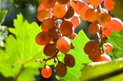 Primo piano d'ardore dell'uva rossa Immagini Stock Libere da Diritti