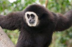 Primo piano d'argento di Gibbon Fotografie Stock