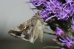 Primo piano d'argento di macro del lepidottero di Y Fotografia Stock