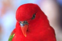 Primo piano, da Lory sostenuto da gialla di Morotai, pappagallo rosso fotografia stock libera da diritti