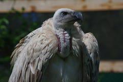 Primo piano dal dorso bianco africano dell'avvoltoio fotografia stock libera da diritti