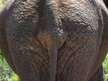 Primo piano dalla parte posteriore dell'elefante e della coda Fotografia Stock Libera da Diritti