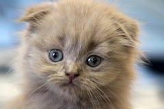 Primo piano dalle orecchie pendenti scozzese del gattino Fotografie Stock
