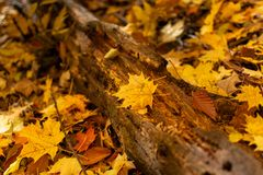 Primo piano decomposto del ceppo con le foglie di acero gialle fotografia stock