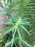 Primo piano degli aghi di conifere Fotografia Stock
