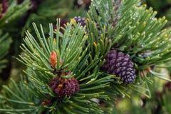 Primo piano degli aghi e dei coni del pino Fotografia Stock Libera da Diritti