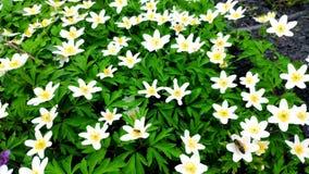 Primo piano degli anemoni bianchi su vento leggero in un giardino botanico, uno dei primi fiori in primavera, fuoco molle video d archivio