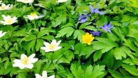 Primo piano degli anemoni bianchi su vento leggero in un giardino botanico, uno dei primi fiori in primavera, fuoco molle archivi video