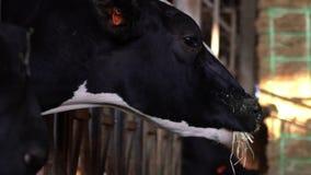 Primo piano degli animali domestici che mangiano fieno in granaio Mucche del bestiame che pascono sull'azienda agricola stock footage