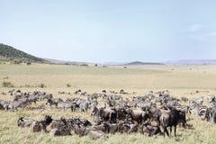 Primo piano degli gnu e delle zebre nel pascolo della savana Fotografia Stock Libera da Diritti
