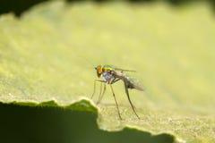 Primo piano degli insetti del tabanidae sull'erba Immagine Stock Libera da Diritti