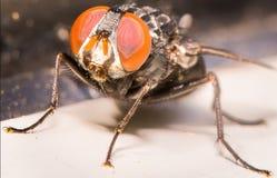 Primo piano degli occhi arancio sbalorditivi della mosca della Camera Immagini Stock Libere da Diritti
