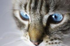 Primo piano degli occhi di gatto Immagine Stock Libera da Diritti