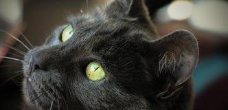 Primo piano degli occhi di gatto Fotografia Stock Libera da Diritti