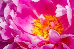 Primo piano degli stami gialli di una peonia rosa Fotografia Stock