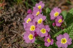 Primo piano dei acaulis comuni della primula della primaverina della bella molla di rosa o dei fiori vulgaris della primula fotografia stock libera da diritti