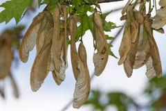 Primo piano dei baccelli del seme su Brnach Immagini Stock Libere da Diritti